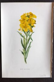 Hulme & Hibberd C1880 Antique Botanical Print. Alpine Wallflower